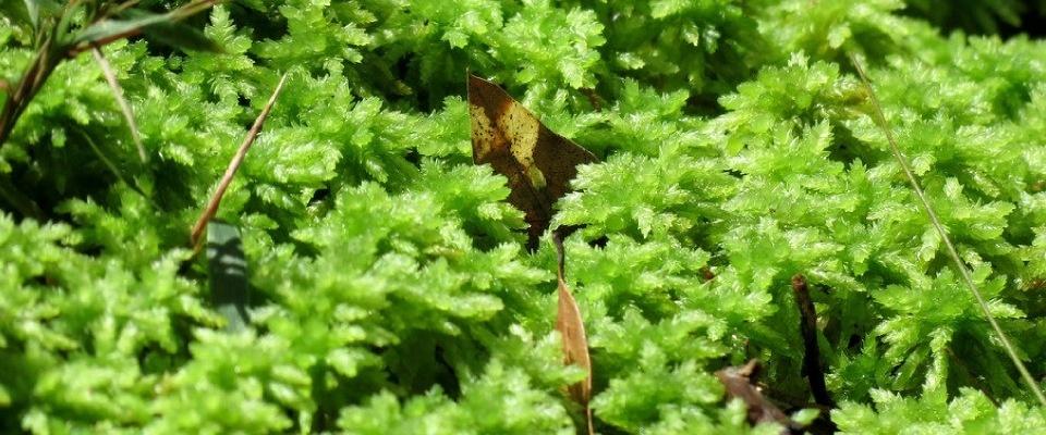 Сфагнум — «болотная вата» и природный антисептик